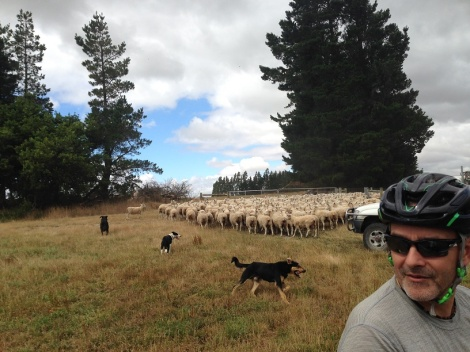 Sheep Jam with dogs!