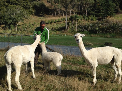 Jay feeding the Alpaca momma's and babys.